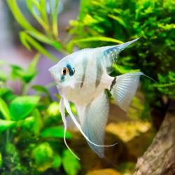 Eau de mon aquarium (eau douce)